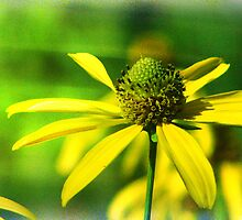Wild Coneflower of New Mexico by moorezart
