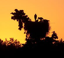 Stork nest at sunset. by jhawa