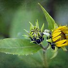 Sunflower Buds by Linda  Makiej