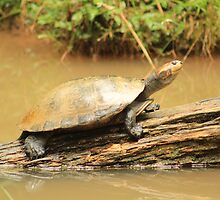 Turtle on a Log by Jonathan Lynch