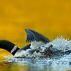 Common Loon  by Loon-Images