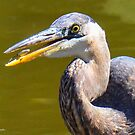 Great Blue Heron and Snack by Nancy Barrett