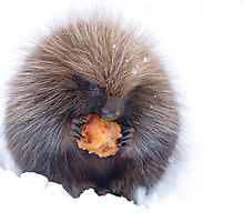 Porcupine with apple by Jim Cumming