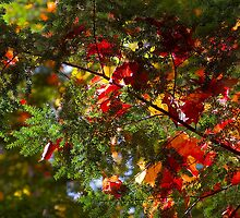 maple leaves on fir by Steven Ralser