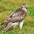 Red-tailed Hawk by Nancy Barrett