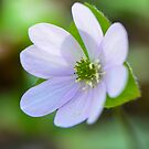 Harbinger of Spring:  Sharp-lobed Hepatica by Nancy Barrett