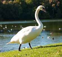 Lone swan looking for food, Devon by sophie-baxter