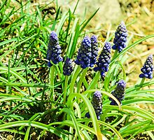 Grape Hyacinth by MeloD13