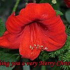 Merry Christmas Card-Amaryllis by hummingbirds