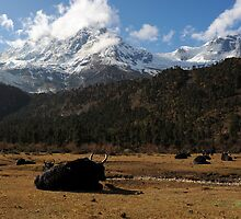 Yaks graze in the Budhi Gandaki Valley   by steve nicholson