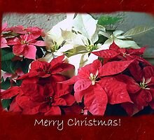 Mixed color Poinsettias 3 Merry Christmas P5F5 by Christopher Johnson