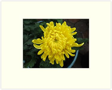Little Sun -  Bright Yellow Chrysanthemum by BlueMoonRose