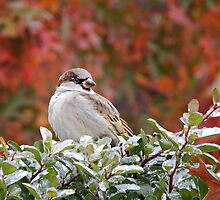 SPARROW (3) by pepperandy