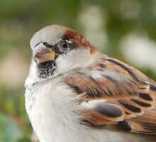SPARROW (7) by Sandra  Aguirre