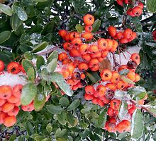 HOLLY-BERRIES by pepperandy