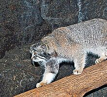 Pallas's CAT.................................*Endangered* by Sassafras