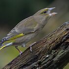 Greenfinch - I by Peter Wiggerman