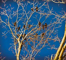 Grackle Cluster by Nazareth