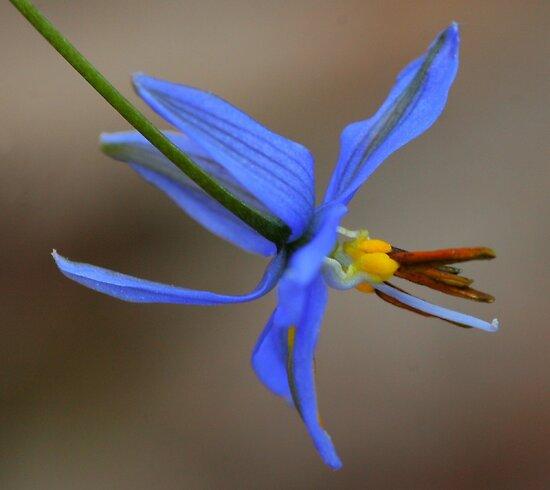 Dianella Longiflora by Michael Matthews