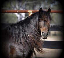 Australian Brumby Stallion. by Barbara  Jean