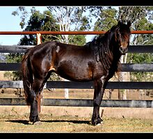 Australian Brumby Stallion. by Barbara  Jean