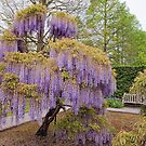 Longwood's Wisteria Magic by Marilyn Cornwell