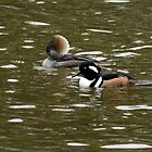 Mr. and Mrs. Merganser by Carol Bailey White