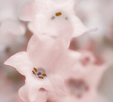 White lavender by MQ20