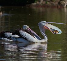 Turtle on the menu for the Pelican this morning by Kym Bradley