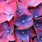 Hydrangea hues by mooksool