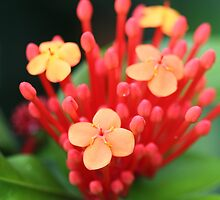 Ixora macro by mooksool