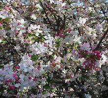 Crab Apple Spring Blossom by Pauline Sykes