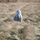 Snowy Owl in the Field by hummingbirds