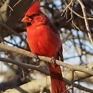Northern Cardinal (Male) by Kimberly Chadwick