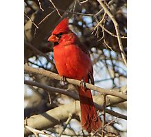 Northern Cardinal (Male) Photographic Print