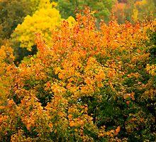 autumn maple by mrivserg
