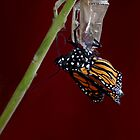 Monarch Butterfly climbing out of the Crysalis by Sunchia Milic