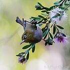 The Silvereye - Number 2 by Rick Playle