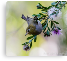 The Silvereye - Number 2 Canvas Print