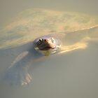 Murray River Turtle (Emydura macquarii) - Wittunga Botanic Garden, SA by Dan & Emma Monceaux