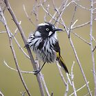 New Holland Honeyeater (Phylidonyris (Meliornis) novaehollandiae) - Thorndon Park, South Australia by Dan & Emma Monceaux