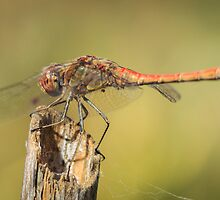 Dragonfly 3 by PhotoShopping