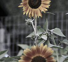 Muted Sunflowers by rke3