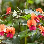 Heart-leaf Flame Pea Mt Frankland by warriorprincess