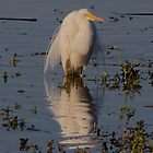 Egret Beauty by Kym Bradley