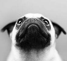 Pug Black and White by Stephanie Sherman
