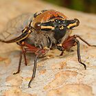 Double Drummer Cicada - Thopha saccata by Andrew Trevor-Jones