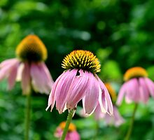Echinacea by Scott Mitchell