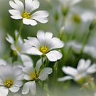 White flowers by flashcompact
