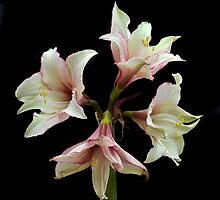 Quartet Of Amaryllis. by Terence Davis